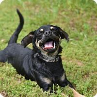 Adopt A Pet :: *Little Ricky - PENDING - Westport, CT