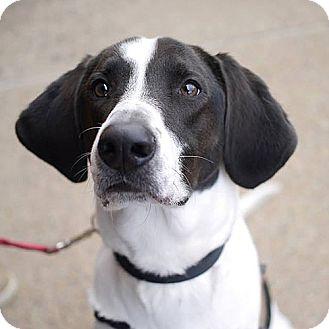Pointer Mix Dog for adoption in Fairfax, Virginia - Pilot *Needs Foster*