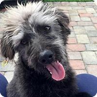 Adopt A Pet :: Bowzer - Costa Mesa, CA