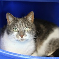 Domestic Shorthair Cat for adoption in Mebane, North Carolina - Simone