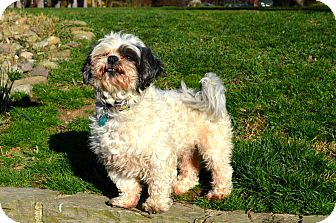 Shih Tzu Dog for adoption in Pittsburgh, Pennsylvania - Pip