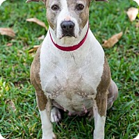 Terrier (Unknown Type, Medium) Mix Dog for adoption in Miami, Florida - Latte