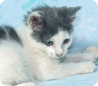 Domestic Shorthair Kitten for adoption in Elmwood Park, New Jersey - Austin