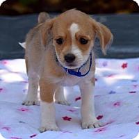 Adopt A Pet :: Conrad Cornelius O'Donald O'Dell - Sacramento, CA