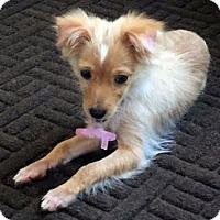Adopt A Pet :: Mango - San Diego, CA
