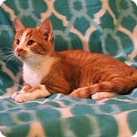 Domestic Shorthair Kitten for adoption in Mackinaw, Illinois - Tigger