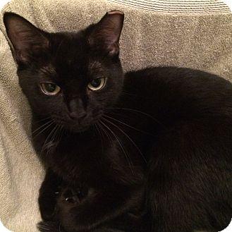 Domestic Shorthair Cat for adoption in Toronto, Ontario - Alice