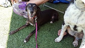 Whippet/Italian Greyhound Mix Dog for adoption in Aurora, Illinois - Julie