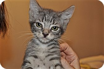 Domestic Shorthair Kitten for adoption in La Canada Flintridge, California - Kitten A