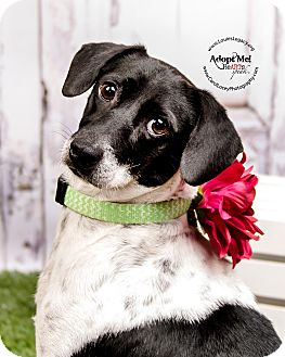 Smooth Fox Terrier/Jack Russell Terrier Mix Dog for adoption in Cincinnati, Ohio - Maddie- WAIVED FEE