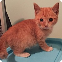 Domestic Shorthair Kitten for adoption in Herndon, Virginia - Luke