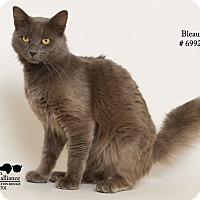 Russian Blue Cat for adoption in Baton Rouge, Louisiana - Bleaux