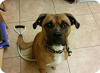 Pug/Pit Bull Terrier Mix Dog for adoption in Reisterstown, Maryland - Bear