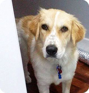 Great Pyrenees Mix Dog for adoption in Nashville, Tennessee - Phi Phi