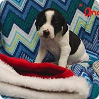 Adopt A Pet :: ANDY - Poteau, OK