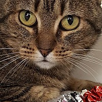 Adopt A Pet :: Tigre - Encino, CA