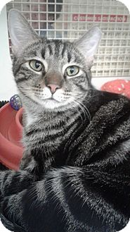 Domestic Shorthair Cat for adoption in Stafford, Virginia - Rafiki