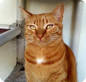 Domestic Shorthair Cat for adoption in Sarasota, Florida - Momma