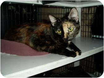 Domestic Shorthair Cat for adoption in Little Rock, Arkansas - Leah