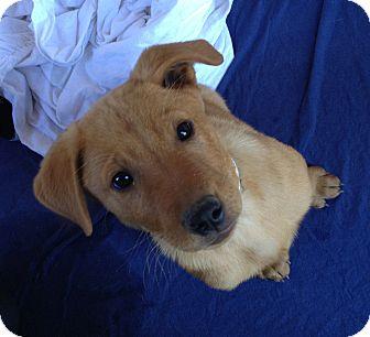 Labrador Retriever/German Shepherd Dog Mix Puppy for adoption in Phoenix, Arizona - Clark