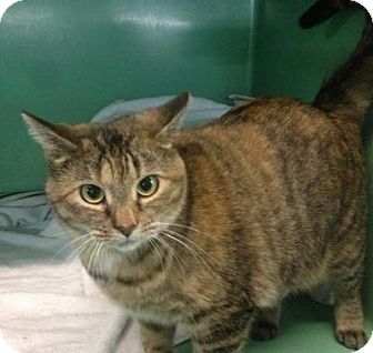 Domestic Shorthair Cat for adoption in Chicago, Illinois - Lucille Ball