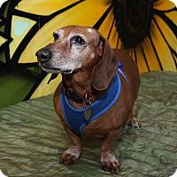 Adopt A Pet :: Beethoven - Decatur, GA