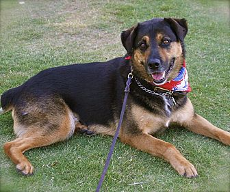 Rottweiler/German Shepherd Dog Mix Dog for adoption in Burbank, California - Handsome Shadow-VIDEO