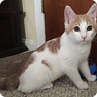 Adopt A Pet :: Bobbi ( Bobtail) & Robby - Arlington, VA