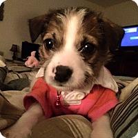 Adopt A Pet :: Aspen II - Dallas, TX