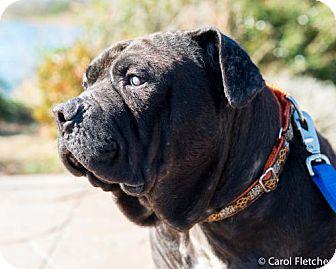 Shar Pei Mix Dog for adoption in Crete, Illinois - Wishbone