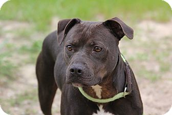 American Staffordshire Terrier Mix Dog for adoption in Macon, Georgia - Jett