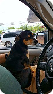 Chihuahua Mix Dog for adoption in Ararat, Virginia - Bandit