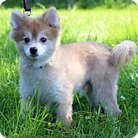 Adopt A Pet :: Pinto - Waldorf, MD