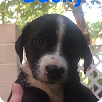 Adopt A Pet :: Ducky - Las Vegas, NV