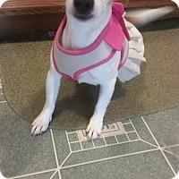 Adopt A Pet :: Cherry Pie - Frederick, MD