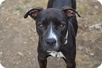 Pit Bull Terrier Mix Dog for adoption in Seattle, Washington - Sunny D