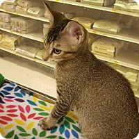 Adopt A Pet :: Balin - Houston, TX