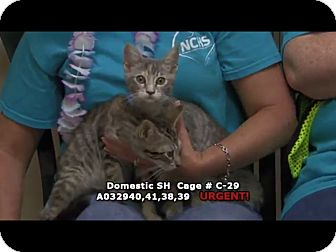 Domestic Shorthair Kitten for adoption in Newnan City, Georgia - Rachel