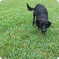 Adopt A Pet :: Dixie - Plainfield, IL