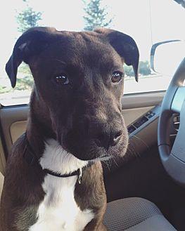 American Pit Bull Terrier/Labrador Retriever Mix Dog for adoption in Colorado Springs, Colorado - Kiley
