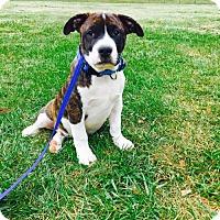 Adopt A Pet :: Thackery Binx - Columbia, MD
