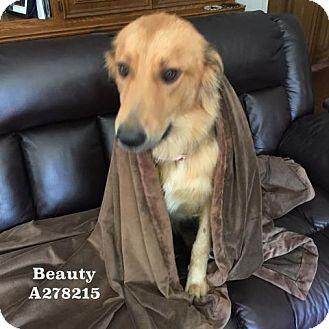 Golden Retriever Dog for adoption in Conroe, Texas - BEAUTY