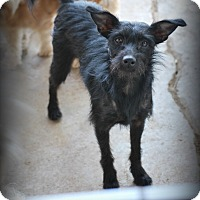 Schnauzer (Miniature)/Patterdale Terrier (Fell Terrier) Mix Dog for adoption in Jennings, Oklahoma - Jody