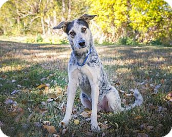 Australian Shepherd Mix Dog for adoption in Boulder, Colorado - Ace