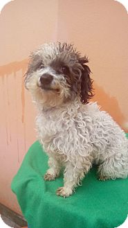 Poodle (Miniature) Mix Puppy for adoption in La Jolla, California - Missy