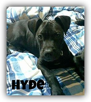 American Pit Bull Terrier Puppy for adoption in Des Moines, Iowa - Hyde-Adoption pending