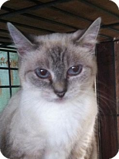 Oriental Cat for adoption in Hampton, Virginia - Princess