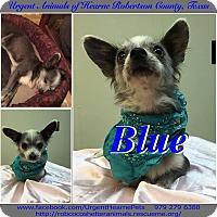 Adopt A Pet :: Blue - Hearne, TX
