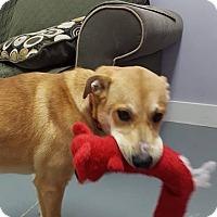 Adopt A Pet :: Shea - Hawk Point, MO