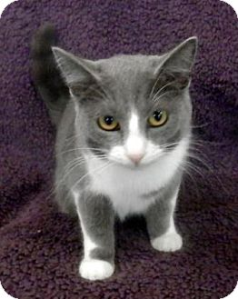 Domestic Shorthair Cat for adoption in Tyler, Texas - Hope